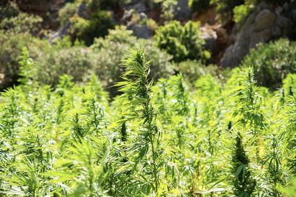 【天然の空気清浄機⁈】環境資源、バイオマスとしての麻植物