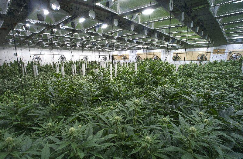 【グリーンラッシュとは?】日本の不景気に対する大麻の影響